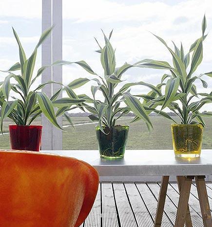 Plantas de interior el tronco de brasil el rinc n de sonia for Plantas verdes de interior