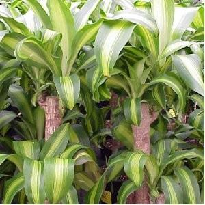 Plantas de interior el tronco de brasil el rinc n de sonia for Plantas de interior con poca luz
