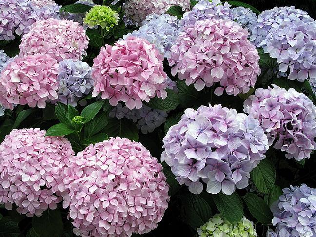 Las hortensias flores para decorar el rinc n de sonia - Decoracion con hortensias ...